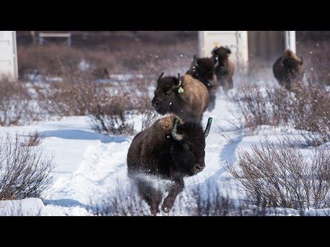 Jadis, le bison sauvage errait librement dans les vallées du parc national Banff, mais il en est disparu depuis plus de 140 ans. Tout a changé en 2017.