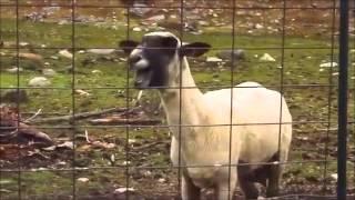 Original Goat Edition Scream (Yelling Goat)