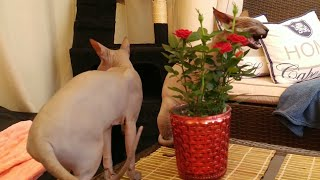Cats very curious about the new flowers at home / DonSphynx / #YouTubeRewind