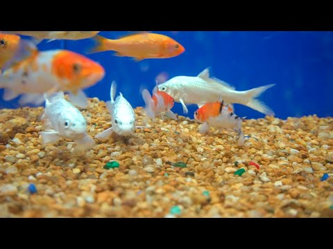Buying EXPENSIVE PLATINUM KOIFISH For POND!