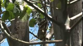 Kráľovstvo divočiny - Koaly