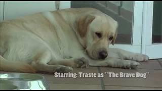 Smart Cute Labrador Dog defending the house against a