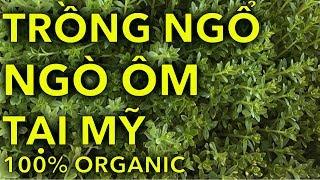 NHÂN GIỐNG NGÒ ÔM TẠI MỸ CỰC KỲ ĐƠN GIẢN-TRỒNG NG ORGANIC TẠI NHÀ | Planting Tree | Online Courses