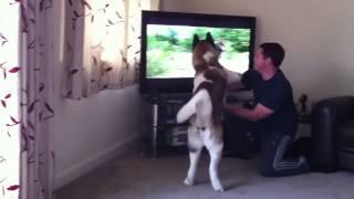 Cachorro assistindo televisão