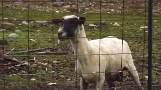 Screaming Goats [Original]