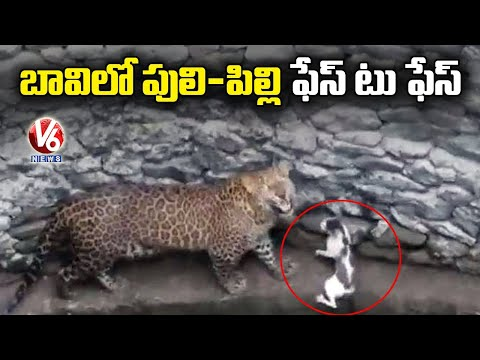 Viral video: Leopard, cat come face to face in well