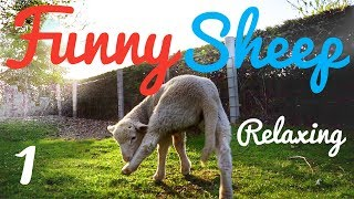 Funny Baby Lamb Happy Sheep Cute Relaxing -  Nature Sounds