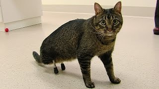 Meet the cat ISU vets outfitted with very rare prosthetic legs