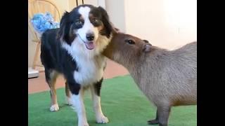 Capybaras are so Sweet