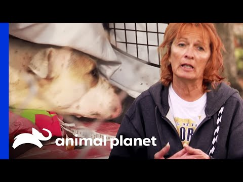 Rescuing A Mama Dog And Newborn Puppies   Pit Bulls And Parolees - Smashpipe Entertainment