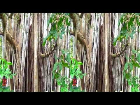 3D Video 100 Years old Tree Hawaii Nature Scene - 3D Video Everyday N° 48