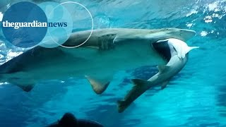 サメの共食い