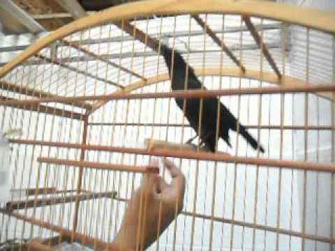 Baixar Pássaro Preto (Graúna, Merro ...) manso de canto selvagem !!!