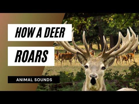 The Animal Sounds: Deer Roar -  Sound Effect - Animation
