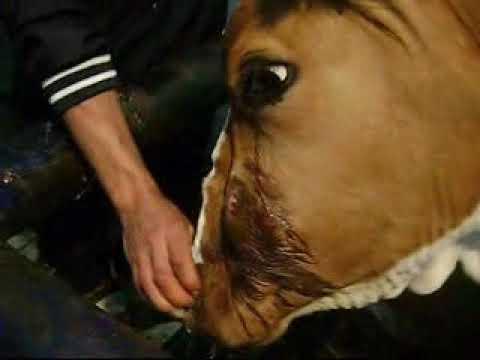 Fistula paranazalnog sinusa kod krave