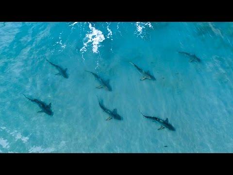 shark migration
