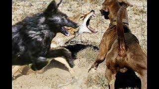 Big black Coyote Attacks the dog!!!