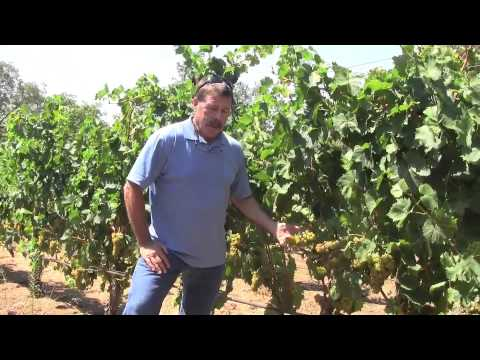 Imagery Estate Winery's Muscat Canelli