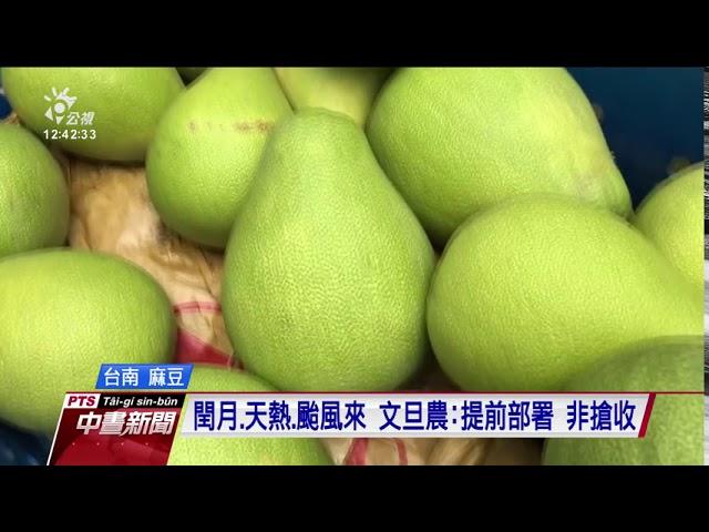 閏月加上天熱 麻豆文旦農提早在颱風前採收