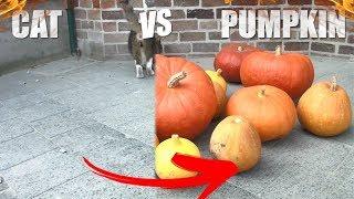 Cat VS Pumpkin - CRAZY CATS #12