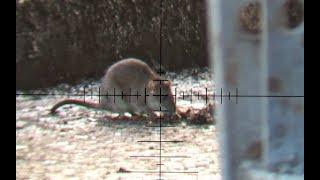 The Airgun Show – Hectic daytime rat shoot, PLUS top night hunting shots with Nite Site…