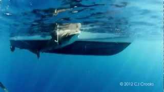 イタチザメと泳ぐ