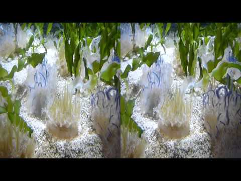 Cassiopea Upside-down Jellyfish (YT3D:Enable=True)
