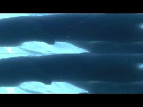 Panasonic 3D Demo - Polar Bear
