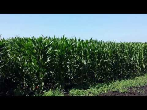 Pioneer Corn Plot 2013 {Lewiston} | Week 8