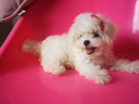 Laoong sai : teacup poodle in white female - YouTube