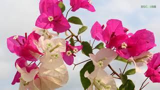 Ý nghĩa phong thủy của cây hoa giấy