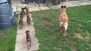 Six week old Malinois puppies playing in the garden