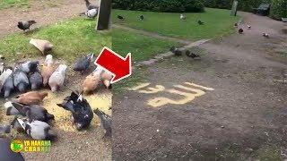 Gara gara Lafadz Allah, Burung Merpati ini Melakukan Hal di Luar Logika! Subhanallah