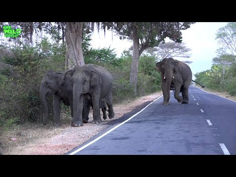 Brave travelers feeding huge and baby elephants by the road. NEVER TRY THIS!