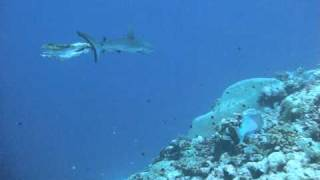 出産直後のサメ