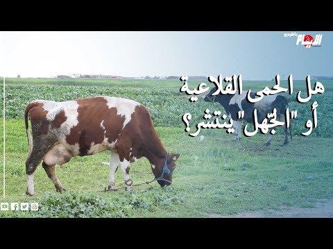 إعدام أبقار وأغنام بشكل جماعي يثير الشكوك.. هل الحمى القلاعية أو