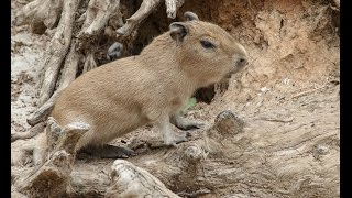 Cute Baby Capybaras Arrive at the San Diego Zoo