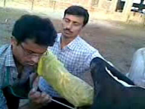 Vestačko osemenjavanje kod krave 3