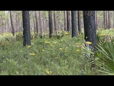 screenshot of youtube video titled Longleaf Pine Flatwoods | Expeditions Shorts (small thumbnail)