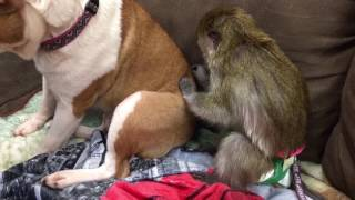 Monkey grooming a dog!