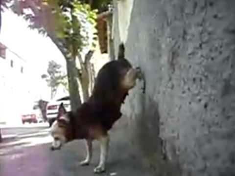 Baixar Bonde das maravilhas quadradinho de oito - versão canina