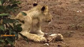 Leopard Hunting Impala vs Lion Taking Leopard's cub