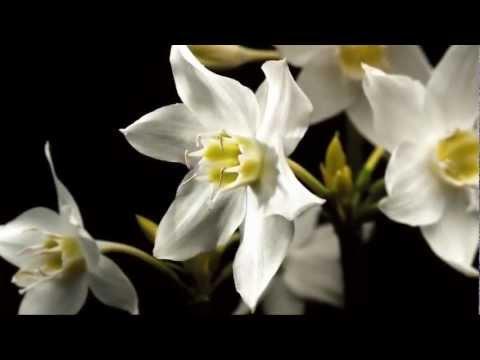 Александр Шапиро Белые цветы
