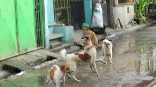 Askal VS Askal (Dog Brawl)