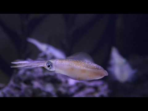Get to know the Bigfin reef squid