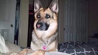 German Shepherd waking up the owner 6.20 am  in his  day off