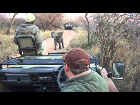 Baby elephant charges a safari vehicle 10 times his size!