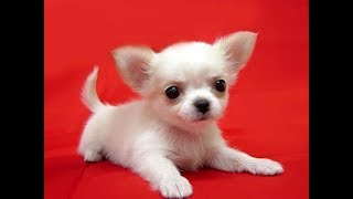 Funny Chihuahua Puppies Compilation 2018  BEST OF