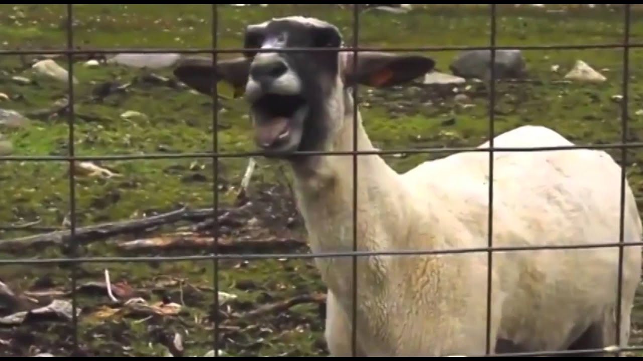 Goat screams HAPPY BIRTHDAY just like a person. - YouTube