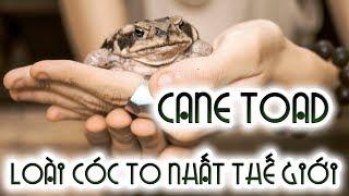 Loài Cóc Khổng Lồ CỰC ĐỘC ăn chuột, dơi - Cane toad (Cóc Mía) | WILDVN TV